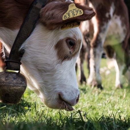Kühe vom Gschwandlerhof, © Jana Lämmerer