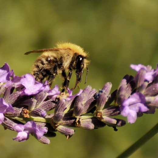 Wildbiene, © pronatour