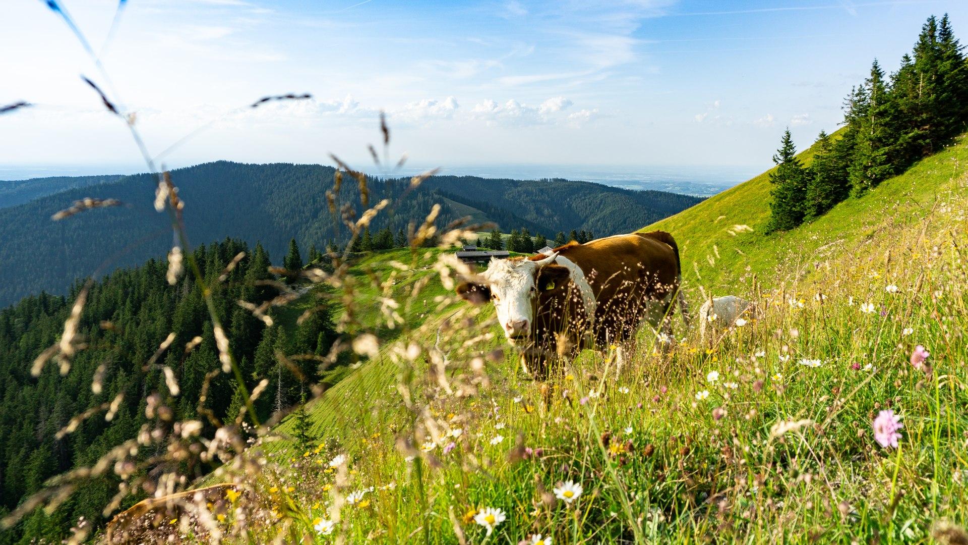 Kuh auf blühender Weidewiese in den Bergen, © Stefanie Pfeiler