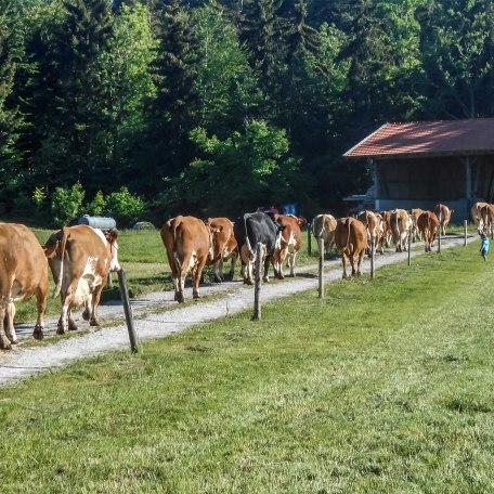 Kuhaustrieb im Sommer, © im-web.de/ Tourist-Information Bad Wiessee