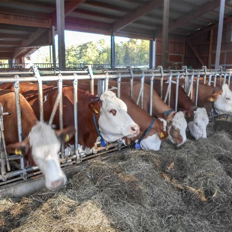unsere Kühe im Laufstall, © im-web.de/ Tourist-Information Bad Wiessee