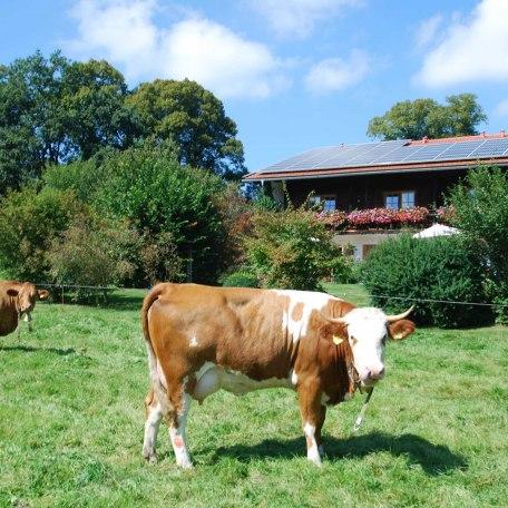 Unsere Kühe grasen auf den Weiden um den Hof, © im-web.de/ Tourist-Information Gmund am Tegernsee