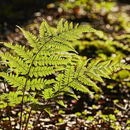 Leuchtend grüner Farn im Wald oberhalb von Tegernsee, © www.bayern.by - Gert Krautbauer