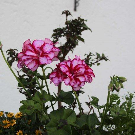 Viele schöne Blumen zieren unser Haus., © im-web.de/ Tourist-Information Bad Wiessee